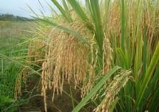 Epagri lança nova espécie de arroz especial para risotos