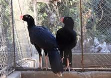 Zoo das Aves e USP firmam parceria para estudo sobre reprodução