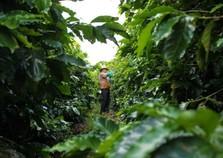 Institutos alertam para geadas na área cafeeira do Noroeste