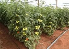 Produtor se torna modelo com alta produtividade de tomate em estufa