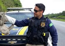 Polícia Rodoviária Federal resgata preguiça na BR-408