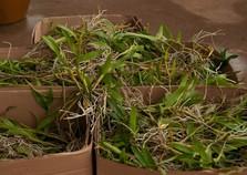 Vigilância recebe mais mudas  de orquídeas para combate à dengue