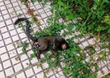 Febre amarela mata quatro macacos em Volta Redonda