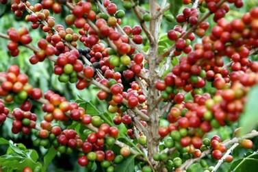 IBGE aponta redução na safra de café em 2019