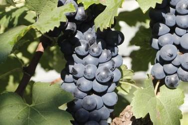 Epamig desenvolve suco de uva com substância que previne doenças