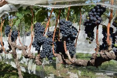 Tem início a colheita de uvas nas vinícolas de Andradas