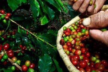 Safra de café em 2020 deve crescer para 56,4 milhões de sacas, diz IBGE