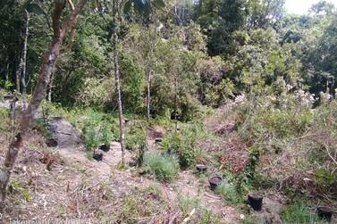 Polícia Militar localiza plantação de maconha e prende 4 pessoas