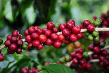 Minas Gerais deve ter grande grande safra de café nesse ano