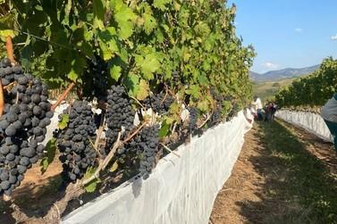 Tem início a colheita de uvas de inverno em Andradas