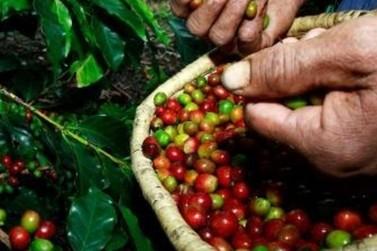 Café impulsiona Valor Bruto da Produção da agropecuária mineira