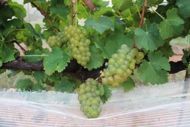 Epamig promove debate sobre a elaboração de vinhos brancos e rosés