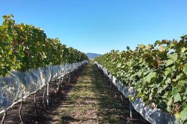 Epamig busca diversificar a produção de vinhos finos de inverno