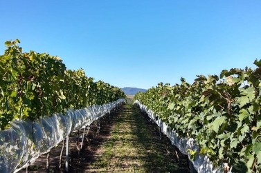 Epamig e Embrapa realizam projetos para vitivinicultura de precisão