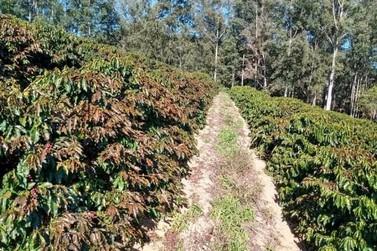 Geada atinge cafezais no Sul de Minas e pode causar prejuízos