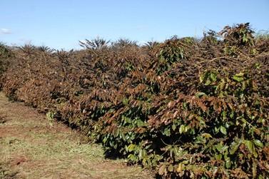 Governo buscará solução para perdas com geada em cafezais do Sul de Minas