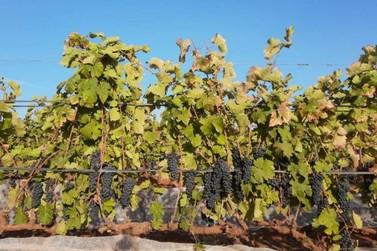 Colheita de uvas Syrah em Andradas e região promete bons vinhos