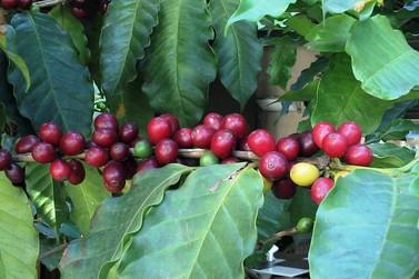 Safra de café em Minas Gerais deve ter redução de 38,1% neste ano