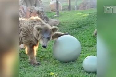 Após chegar do Piauí, ursa brinca em santuário de Joanópolis