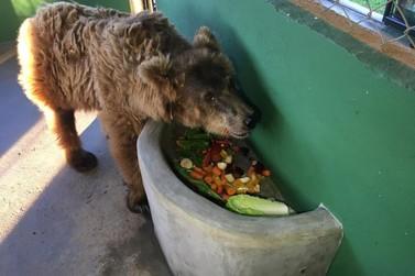 Um mês após ser transferida para santuário, ursa exibe comportamento dócil