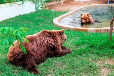 Casal de ursos chega a santuário de animais em Joanópolis
