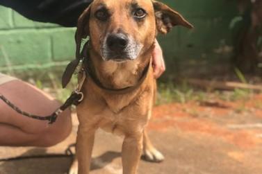 Thor: a linda história do cãozinho que precisa de um lar em Atibaia