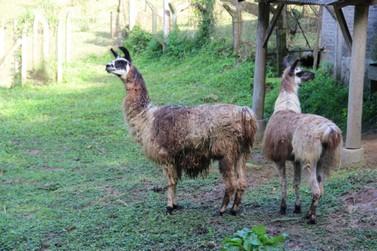 Zoobotânico recebe duas lhamas do Zoológico de Pomerode
