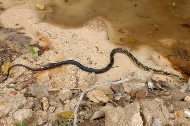 Duas serpentes caninanas são retiradas da cumieeira de uma casa, no Aymoré