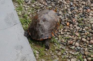 Tartaruga perdida é entregue no quartel do Corpo de Bombeiros de Guabiruba