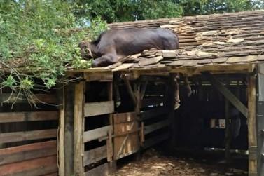 Bombeiros resgatam vaca que subiu no telhado, em Timbó