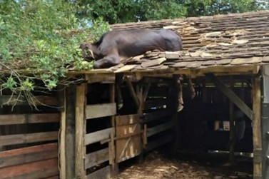 Dono de vaca que subiu em telhado explica como o animal foi parar lá