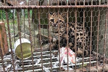 Gato do mato que comia galinhas de propriedade é resgatado e solto na natureza