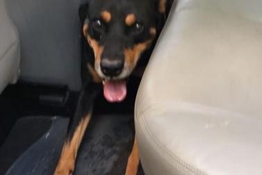Cachorrinho atropelado em Cruzeiro do Oeste procura seu dono