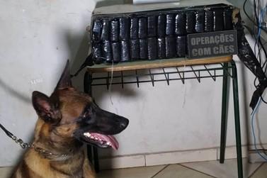 Com ajuda de cão farejador, PM apreende 28 quilos de maconha em Umuarama