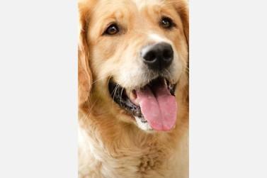 Cachorrinho continua desaparecido  em Cruzeiro do Oeste
