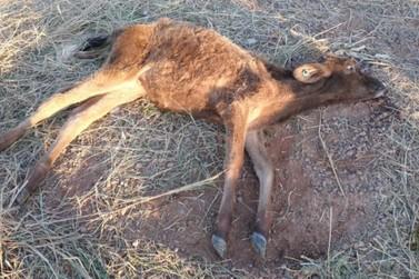 Polícia encontra bovinos mortos, desnutridos e maltratados