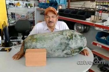 """Com 41 quilos, """"maior pepino do mundo"""" é colhido em Cascavel"""