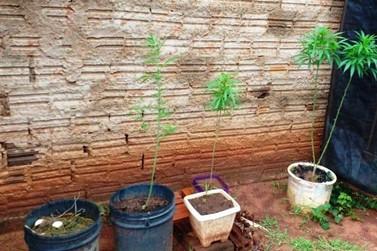 Morador de Loanda cultivava maconha em vasos de plantas