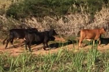 Homem é preso suspeito de furtar gado em Douradina