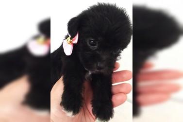 Procura-se cachorra Kiara, desaparecida em Douradina