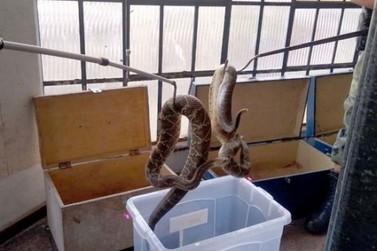 Mais de 150 cobras peçonhentas são recolhidas em casa, em Mandaguari