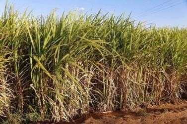 Paraná suspende por 30 dias queimada em cana-de-açúcar