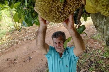 Alternativa para alimentação: Altônia é a maior produtora de jaca no Paraná