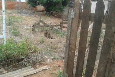 Jaguatirica faz visita surpresa para moradora de Pérola