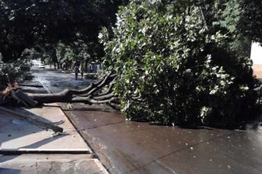 Vento forte derruba árvore na Osvaldo Ribeiro