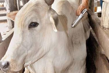 Prazo para vacinar o gado contra a febre aftosa termina no dia 31 de maio