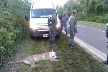 Puma morre atropelado em estrada do Parque Nacional em Puerto Iguazú