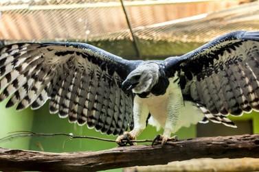 Especialistas defendem trabalho conjunto para garantir a conservação das harpias