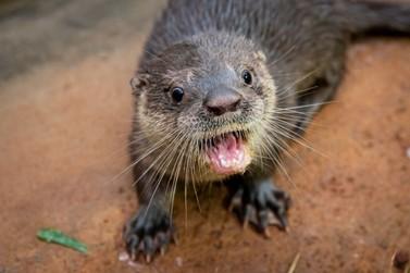 Lontra resgatada é a nova moradora do Refúgio Bela Vista, em Foz do Iguaçu