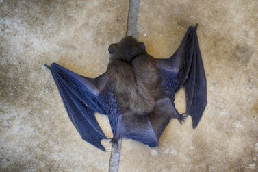Prefeitura alerta população sobre os riscos dos casos de raiva em morcegos